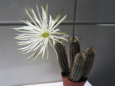 Setiechinopsis mirabilis - Google otsing