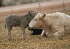 Gray calf (black angus x charolais) with her mother, by shreve