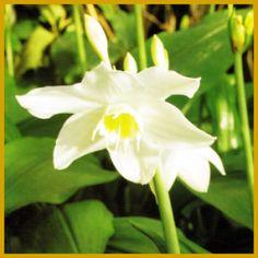Amazonaslilie, wunderschöne weiße Blüten.  Die #Amazonaslilie hat wunderschöne weiße, Narzissen ähnliche Blüten, ihre Blätter dagegen ähneln großen Maiglockenblättern, blüht sehr rasch.  http://www.gartenschlumpf.de/amazonaslilie/