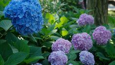Modré hortenzie vyžadují kyselé prostředí, jinak ztrácí barvu | foto: Pavel Vlček Hydrangea, Cabbage, Vegetables, Plants, Hydrangeas, Cabbages, Vegetable Recipes, Plant, Hydrangea Macrophylla