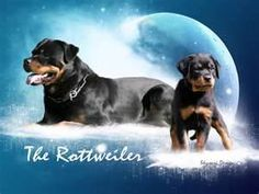rotweiler puppies - Bing Images