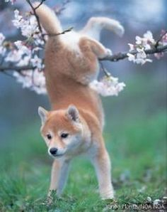 she's going to remember to run under that branch next time - instead of trying to jump over it... // Sheba Inu