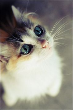 A beautiful cat with long whiskers looking up into the air.