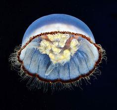 ただ流されるままプカプカ漂う、そんなクラゲに私はなりたい。毒とか触手とかもついてるし。神秘的で繊細なるクラゲたちの画像特集 : カラパイア