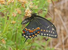 The palamedes swallowtail is one of the largest and most commonly observed butterflies in the southeastern U.S. Description from pinterest.com. I searched for this on bing.com/images