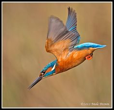 Male Kingfisher Dive