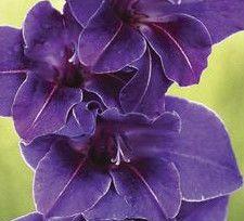 "Rare Perennials ""GLADIOLUS VIOLETTA"" New Flower Bul"