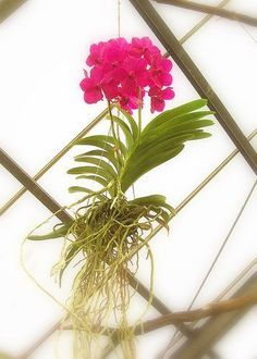 Hanging orchid for my window