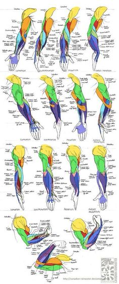 Arms' anatomy, stretched, flexed and straight