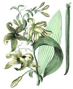 Vanilla by Sheila Terry