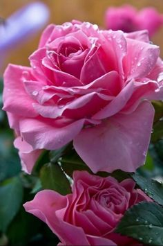 Latest Free Hybrid Tea Roses pink Popular Hybrid car tea would be the most ancient list of carnations classified as present day lawn roses. Amazing Flowers, Beautiful Roses, My Flower, Beautiful Flowers, Pretty Roses, Beautiful Pictures, Purple Roses, Pink Flowers, Photo Rose