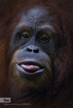 Orangutan by Tramont_ana Primates, Funny Animal Pictures, Cute Funny Animals, Animals And Pets, Baby Animals, Cute Monkey, Mundo Animal, Animal Faces, Animal Photography