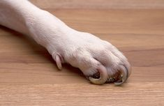 If you need to trim extremely overgrown dog nails and don't know where to start, this step by step guide on how to cut dog nails that are too long will help Clipping Dog Nails, Trimming Dog Nails, Best Nail Clippers, Dog Toenails, Trim Nails, Nail Length, Cute Dog Pictures, Dog Language, Pet Grooming