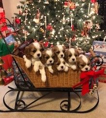 Merry Christmas from Dash, Dakota, Dixie, Desi, Dallas and DJ (Cavalier King Charles Spaniels)