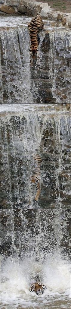 Tiger descends a waterfall.