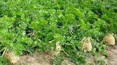 Chcete-li mít kvalitní a zdravý celer, je nejvyšší čas zasít semínka, protože celer má dlouhou vegetační dobu. Herbs, Malachite, Herb