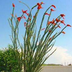 The Ocotillo is a highly unique desert plant that derives its shape from several green-leafed stems that emerge from a common base, giving it a distinctly different look in any landscape. The Ocotillo Desert Trees, Desert Plants, Desert Flowers, Arizona Wildflowers, Valley Nursery, Patio Trees, Get Off My Lawn, Natural Fence, Tatoo