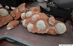 The crew was working on a road in the city of Heyuan when they discovered 43 fossilized dinosaur eggs, including 19 that were fully intact. The largest was more than 7 inches in diameter.