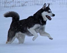 Siberian Husky snow fun.