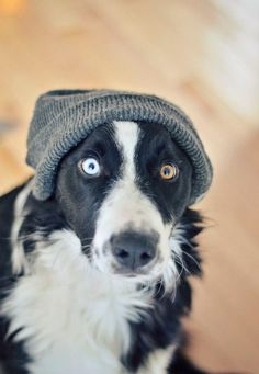 He looks like my dog but he is brown and white. :) border collies are awesome dogs