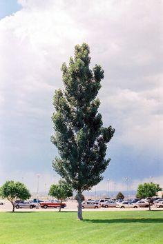 Find Theves Poplar (Populus nigra 'Afghanica') in Grand Rapids Wyoming Alpine Kentwood Grandville Michigan MI at Flowerland Poplar Tree, Botany, Wyoming, Dolores Park, Trees, Tattoos, Garden, Plants, Tatuajes