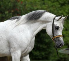 Beautiful arabian...looks like my old horse shadow