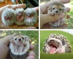 I love hedgehogs! I would really like to have one as a pet someday. They make me giggle like a school girl.