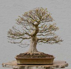 Bonsai Photo of the Day 5-14-2018 – BonsaiJack.com #bonsaijack #bonsai