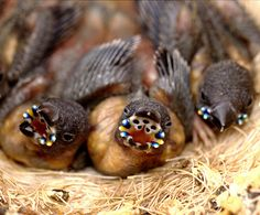 Gouldian Finch chicks have blue phosphorescent beads along their mouths, making it easier for their parents to feed them in their dark nests.