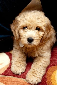 Goldendoodle :) Sooo cute! Maybe we can get Toby to have little golden doodles with a pretty golden girl dog :)