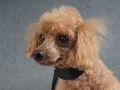 Adopt Bernie, a lovely 12 years Dog available for adoption at Petango.com…