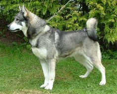 this is a swedish elkhound, my future companion! i'm going to be hunting with this dog in the mere future for some meat to hide in the freezer :P.