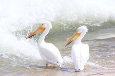 Saskatoon Birds, Pictures, Animals, Animais, Animales, Animaux, Bird, Animal, Paintings