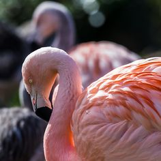 Sunlight catches a flamingo.  Enjoy my other images of nature in full size by clicking on the thumbnail.  They are also available to buy in a variety for formats or as a digital download without the watermark. #zoo #flamingo