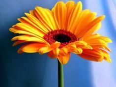 Las margaritas amarillas son ideales para cuidar la salud e los nuestros.