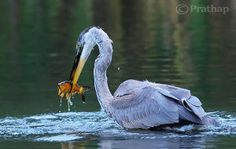 Juvenile Blue Heron with a Fish