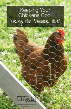 During the summer, keeping our chickens cool is a very active part of our daily routine. Here are a few things that we have found to be helpful, as well as some additional suggestions I've gathered from my fellow chicken-keeping friends.