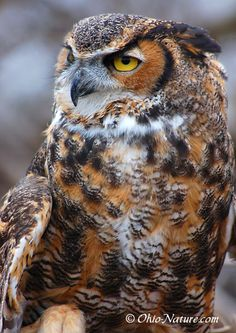 The Great Horned Owl is the biggest of all of the owls.