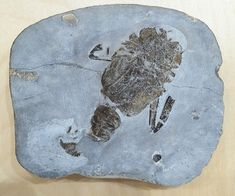 Fossil Hunting, Fossils, Plates, Tableware, Licence Plates, Dishes, Dinnerware, Griddles, Tablewares