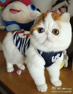 Gato Snoopy se torna fenômeno na web - Page Not Found Cute Kittens, Cats And Kittens, Snoopy Cat, Cutest Cats Ever, Animal Gato, Exotic Cats, Exotic Shorthair, Grumpy Cat, Cat Love