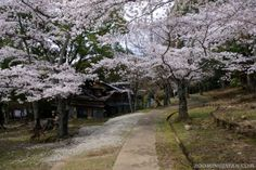 Cherry blossoms in Nara Park (April 2013).