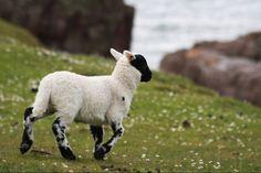 Sheep at Rua Reidh Lighthouse by Christian Fahrni on 500px