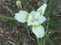 Iris pumila 'Cotton Blossom' - Chicago garden