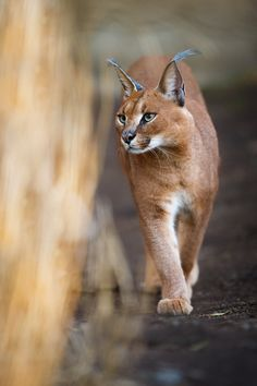 A walk in the sunset by AlesGola.deviantart.com on @deviantART - A male caracal couriously watching the female in the neighbouring enclosure. Taken at Prague Zoo.
