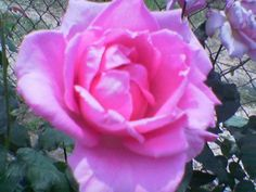 A pink rose :)