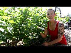 Vinbärshäck från sticklingar - YouTube