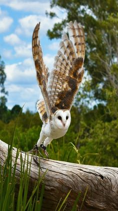 Birds of Prey - Barn owl in flight. Owl Photos, Owl Pictures, Beautiful Owl, Animals Beautiful, Lechuza Tattoo, Nocturnal Birds, Photo Animaliere, In Natura, Owl Bird