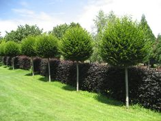 carpinus-betulus-fastigiata-1.jpg 1.920×1.440 Pixel