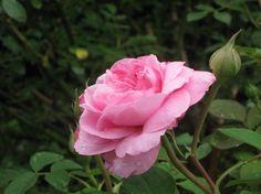 Aprende a tratar de manera natural la mancha negra del rosal....