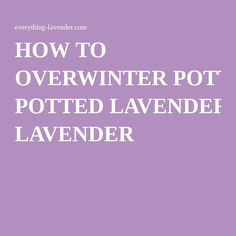 HOW TO OVERWINTER POTTED LAVENDER